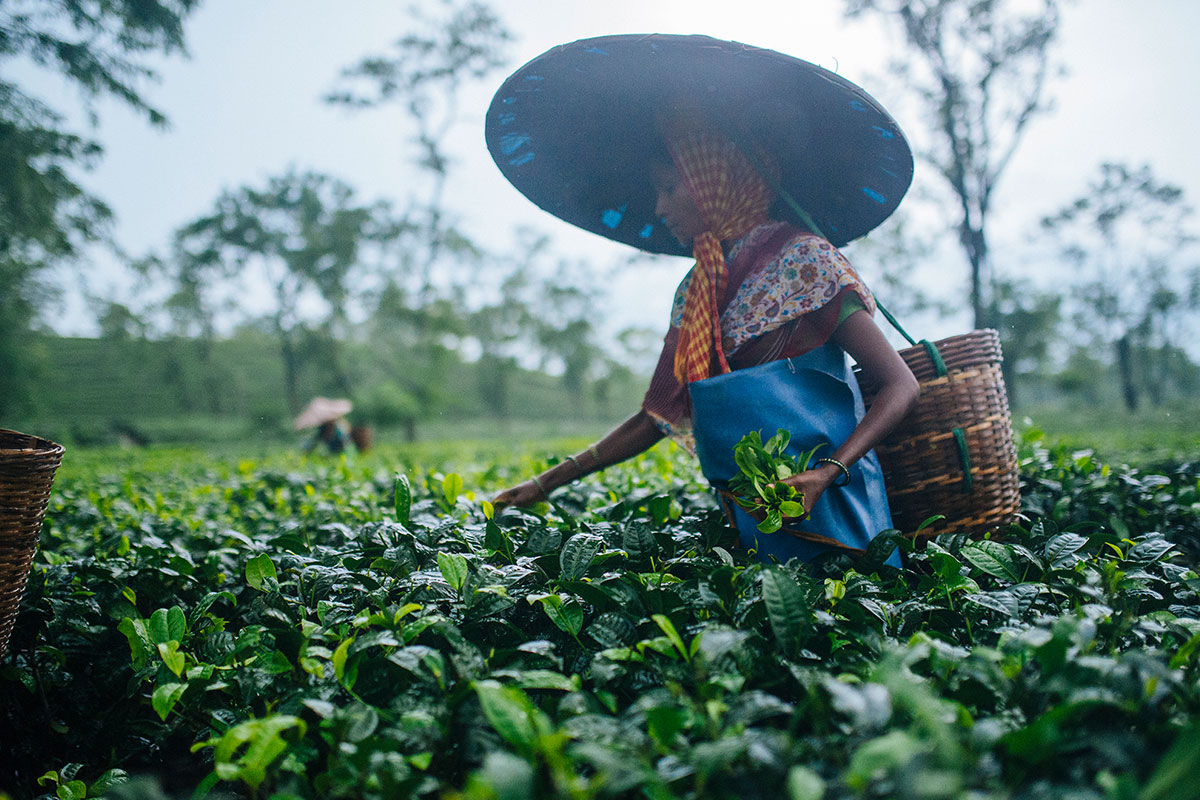 Indian woman picking tea sustainably without machinery into a basket