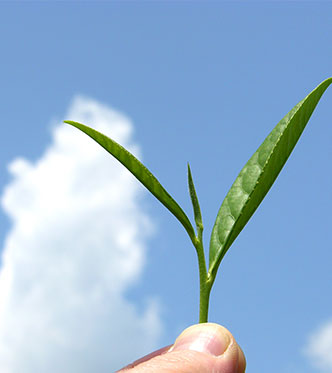 holding up a fresh tea leaf up to a clear blue sky
